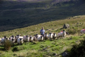 Willie Drohan is the sixth generation of his family to herd sheep in the Comeragh Mountains