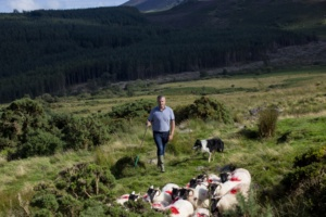 Willie Drohan herding his sheep in the Comeragh Mountains, Waterford.